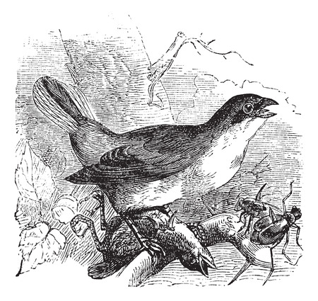 ornithological: Old engraved illustration of a Red-backed Shrike preying on another bird and also some insects.