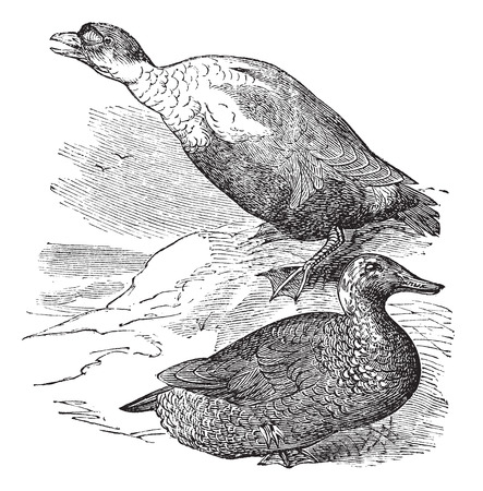 omnivore: Old engraved illustration of a King Eider showing male drake (top) and female hen (bottom).