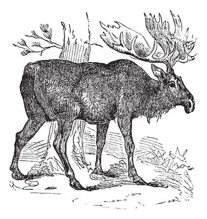 terrestrial mammal: Old engraved illustration of a Moose.
