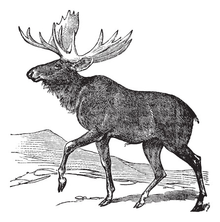 moose antlers: Old engraved illustration of a Moose.