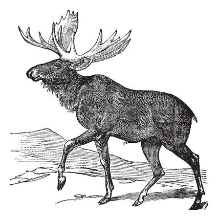 Old engraved illustration of a Moose.