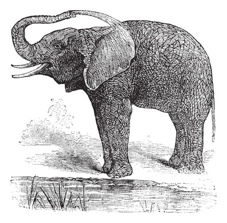 vulnerable: Old engraved illustration of African Bush Elephant.