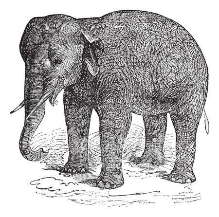 threatened: Old engraved illustration of an Asian Elephant or Elephas maximus.