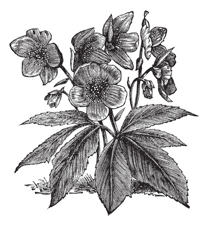 buttercup: Old engraved illustration of a Black Hellebore showing flowers.