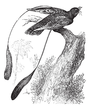 ornithological: Old engraved illustration of Standard-winged Nightjar showing its wing ornament.