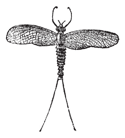 Old engraved illustration of a Mayfly.