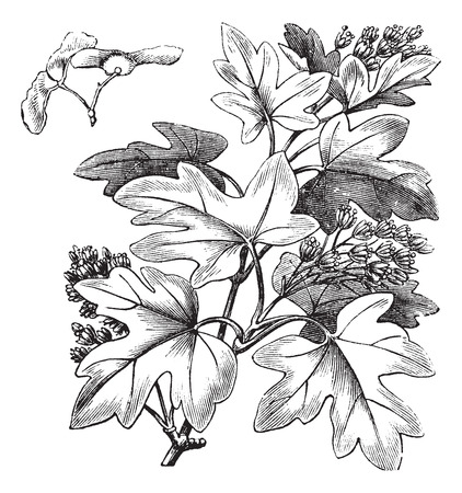 hedge trees: Old engraved illustration of a Field Maple showing flowers and winged seeds (upper left).