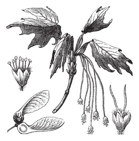 acer: Old engraved illustration of Silver Maple showing flowers and winged seed (lower left). Illustration