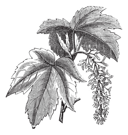 botanical drawing: Old engraved illustration of a Sycamore showing flowers.