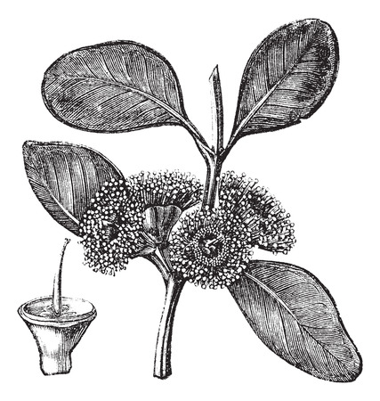 fruited: Old engraved illustration of a Bell-fruited Mallee showing flowers and fruit (lower left).