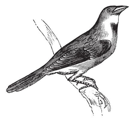 ornithological: Old engraved illustration of a Dickcissel.