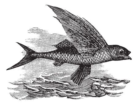 ichthyology: Old engraved illustration of a Flying Fish.