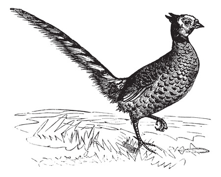Old engraved illustration of a Common Pheasant. Illustration