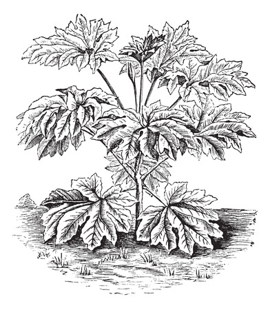 Old engraved illustration of a Rice-paper Plant.