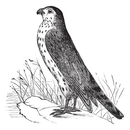 mago merlin: Ilustraci�n del Antiguo grabado Merlin o Pigeon Hawk.