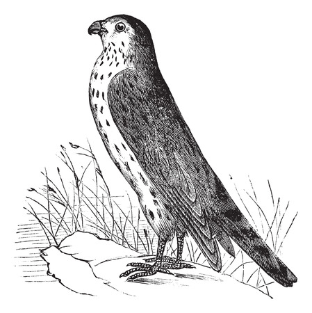 migrate: Old engraved illustration of Merlin or Pigeon Hawk.