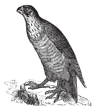 falconidae: Old engraved illustration of a Peregrine Falcon.