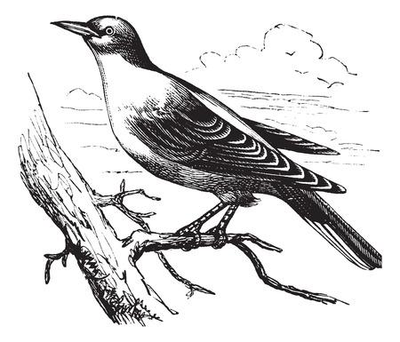 passerine: Old engraved illustration of an Orphean Warbler. Illustration