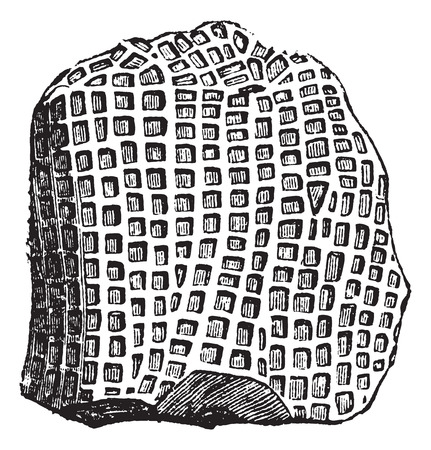 pores: Favosites niagariensis Fossil, vintage engraved illustration