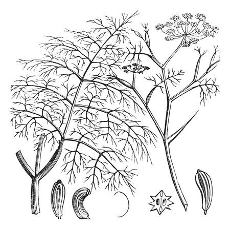 herbology: Old engraved illustration of a Common Fennel showing seeds (bottom). Illustration