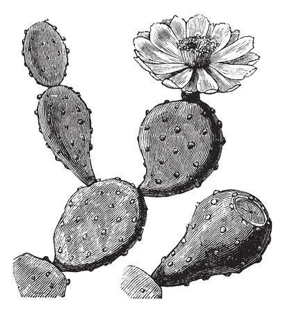 pera: Ilustración del Antiguo grabado de un Barbary Fig mostrando flores (arriba a la derecha).