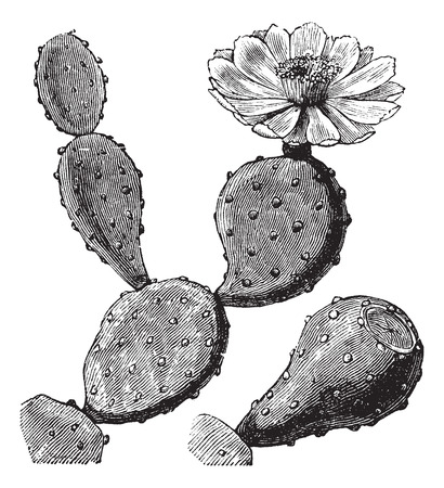 etching: Old engraved illustration of a Barbary Fig showing flower (top right).