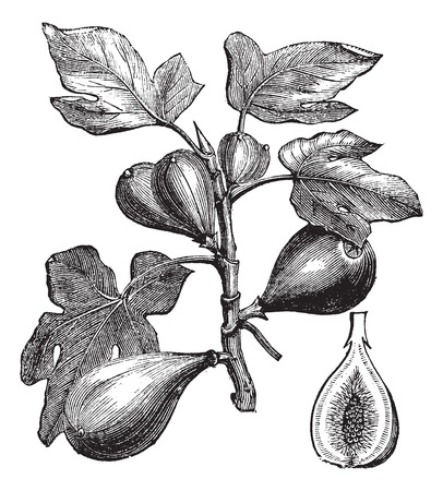 herbology: Old engraved illustration of Common Fig showing fruits.