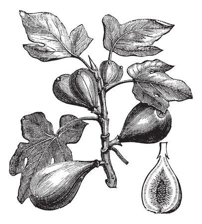 Oude gegraveerde illustratie van de vijgenboom zien vruchten.