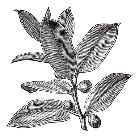 Old engraved illustration of a Rubber Plant showing fruits. Иллюстрация