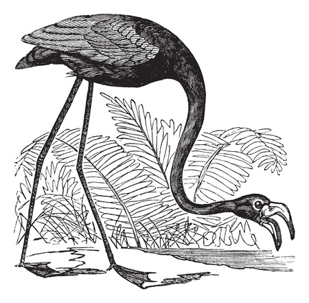 wading: Old engraved illustration of a Common Flamingo.