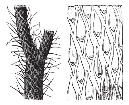 Old engraved illustration of Lepidodendron, an extinct primitive tree-like plant, showing trunk and grass-like leaf blades (left) and a close-up view of leaf scars on the trunk (right). Illustration