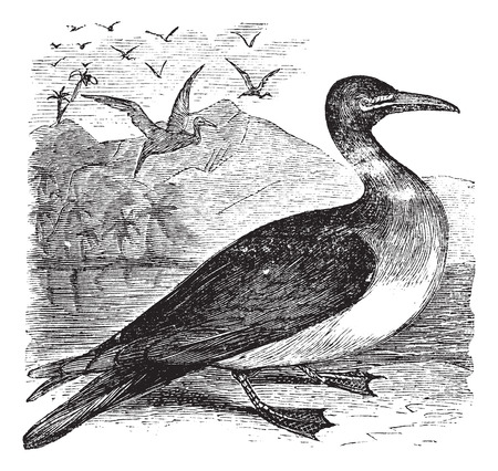 Old engraved illustration of a Booby. Illustration