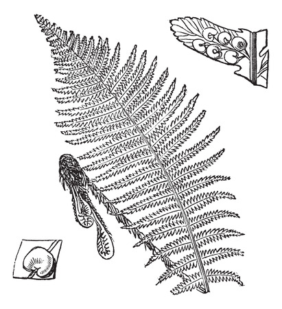 frond: Fern, frond (center) showing spores (lower left and upper right), vintage engraved illustration