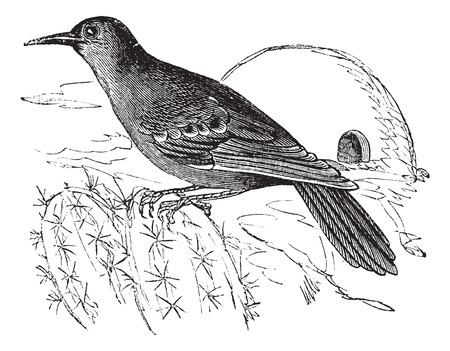 zoological: Old engraved illustration of a Rufous Hornero. Illustration