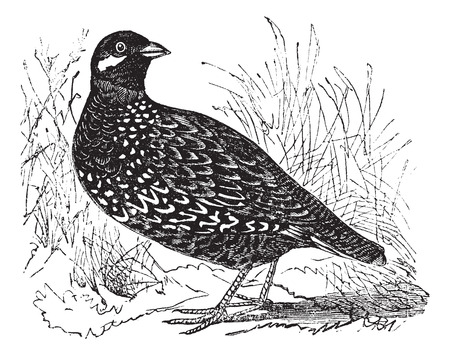 watchful: vintage engraved illustration of Black Francolin. Illustration