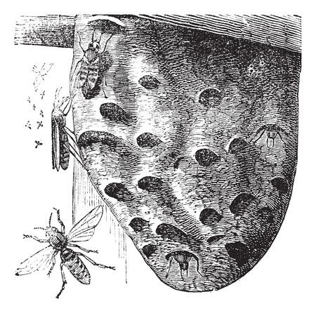 Old engraved illustration of Hornets hovering on a nest. Stock fotó - 37980417