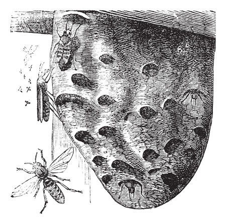 hovering: Old engraved illustration of Hornets hovering on a nest. Illustration