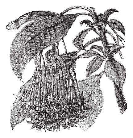 myrtales: Old engraved illustration of Fuchsia corymbiflora, leaves and flowers isolated on a white background.
