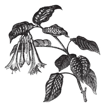flores fucsia: Ilustración del Antiguo grabado fulgens, hojas y flores aisladas sobre un fondo blanco fucsia.