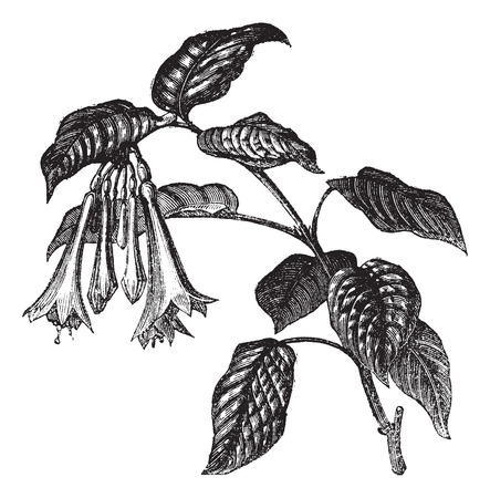Old engraved illustration of Fuchsia fulgens, leaves and flowers isolated on a white background.