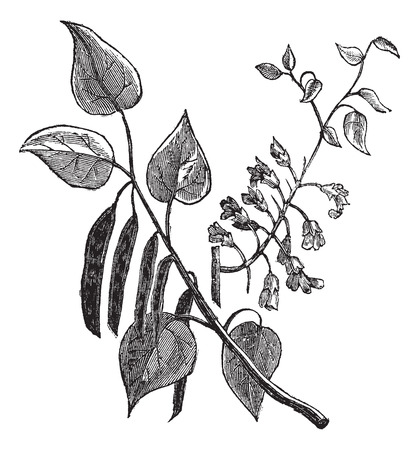 fabales: Old engraved illustration of Cercis canadensis, leaves isolated on a white background.