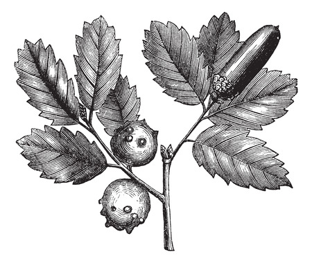 quercus: Old engraved illustration of Gall Oak, plant and galls isolated on a white background.