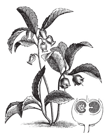 Old engraved illustration of Gaultheria procumbens and its fruit section isolated on a white background.