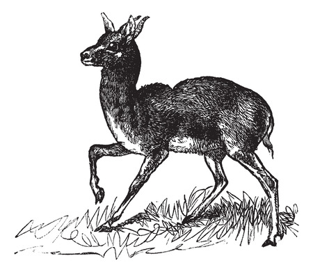 Old engraved illustration of Dorcas Gazelle, running in the meadow.