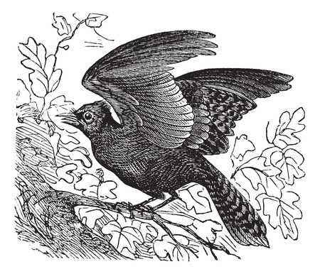 jay: Old engraved illustration of Blue Jay on branch with about to fly.