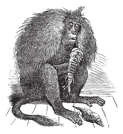 primate biology: Old engraved illustration of Gelada, eating carrots. Illustration