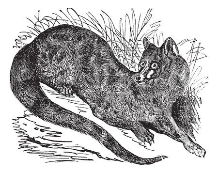Old engraved illustration of Common genet. 矢量图像