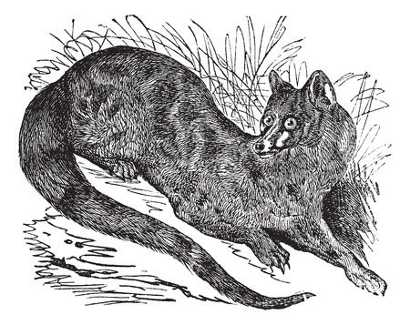 zoological: Old engraved illustration of Common genet. Illustration