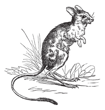 lesser: Old engraved illustration of Lesser Egyptian Jerboa.