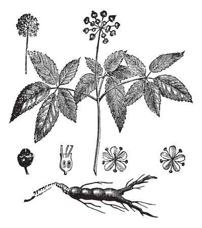 Old engraved illustration of American Ginseng and Chinese Ginseng, isolated on a white background.